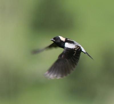 Bobolink 2 Flying