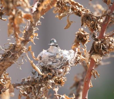 巣に座るコスタハチドリ♀