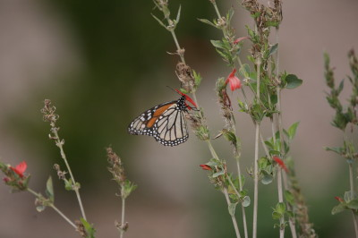 オオカバマダラ蝶