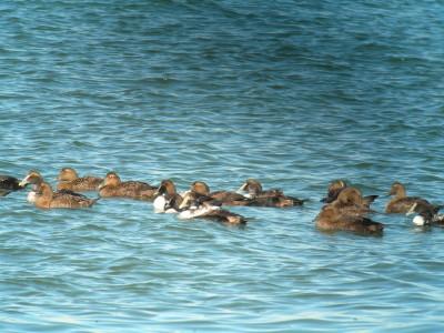 ホンケワタガモ群で泳ぐ