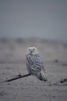 シロフクロウ浜辺で休む