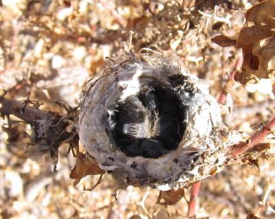 コスタハチドリ雛2羽