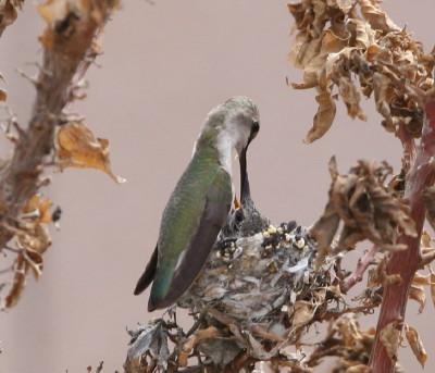 コスタハチドリ♀親背中の姿