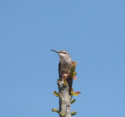 コスタハチドリ♀親木の天辺