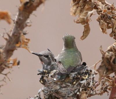 雛の上に座り込むメス親