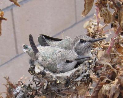 巣の雛2羽