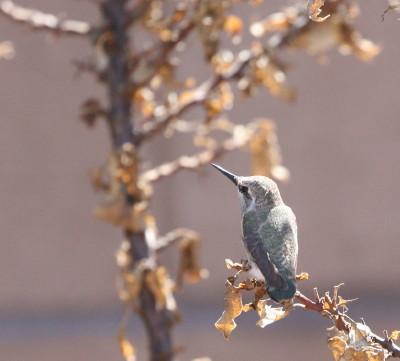巣立ち雛、枝先へ登る