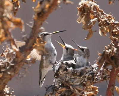 巣のメス親と雛2羽
