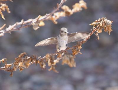 羽ばたきながら枝を歩く雛