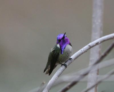 コスタハチドリのオス