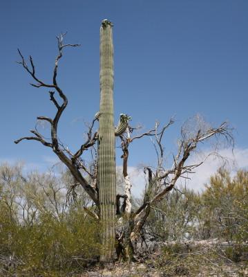 枯れた保護樹とサワーロ