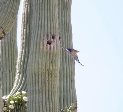 サバクシマセゲラ巣から飛び立つ