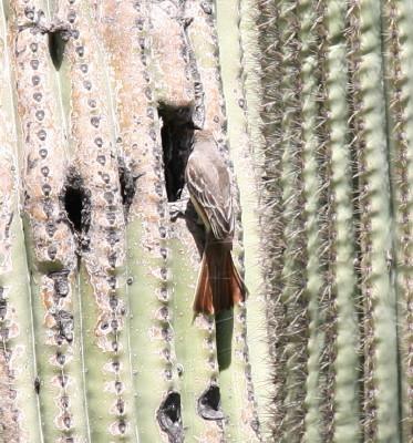 シロハラオオヒタキモドキと巣