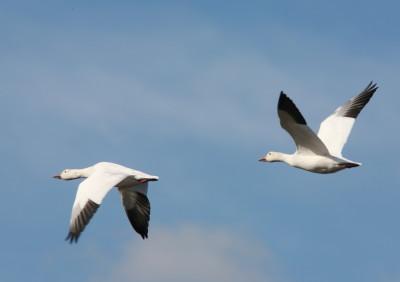 2羽で飛ぶハクガン