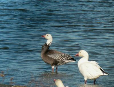 Blue Goose & Snow Goose