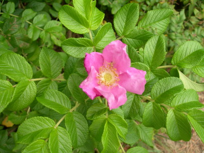 Wrinkled Rose