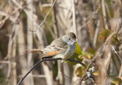 Ash-throated Flycatcher 1