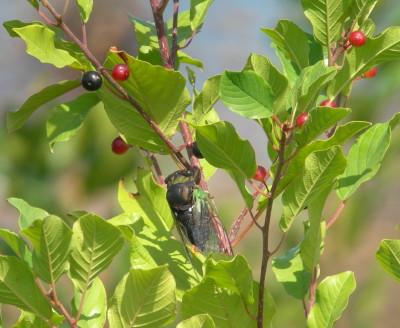 Dogday Hervestfly
