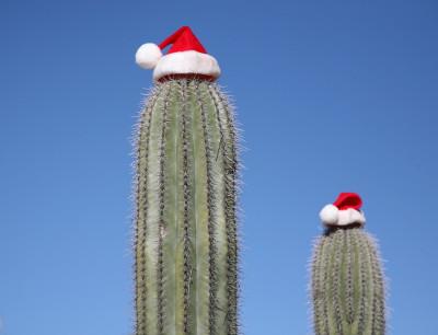 サンタ帽子のサワーロサボテン