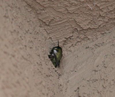 壁で眠るコスタハチドリ