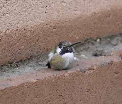 塀でうずくまるコスタハチドリ