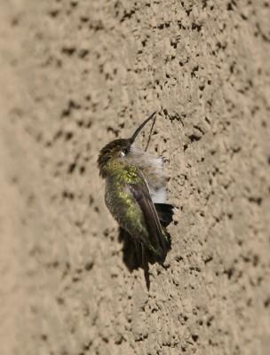 壁にへばりつくコスタハチドリ
