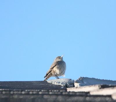 屋根上のイワサザイ