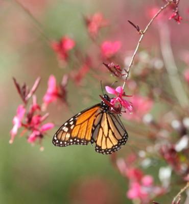 ピンククラウドの花に止まるモナコ蝶