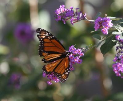 翅がボロボロのモナコ蝶