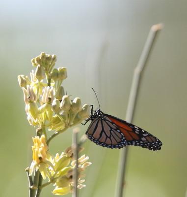 トウワタの花に止まるモナコ蝶