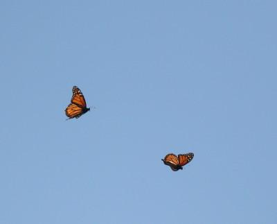 モナコ蝶のコートシップ