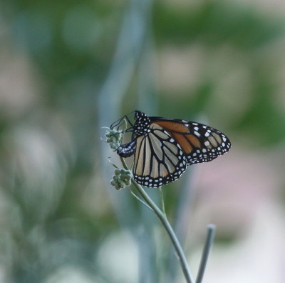 産卵するモナコ蝶