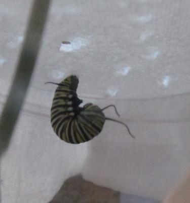 Jの字のモナコ蝶幼虫