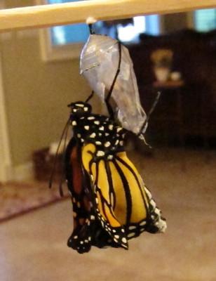 サナギから全身が出たモナコ蝶