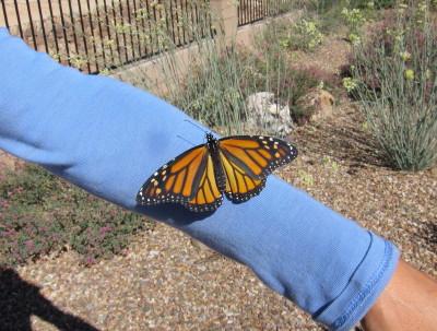 腕を登るモナコ蝶