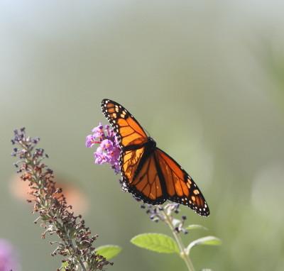 初飛びしたモナコ蝶