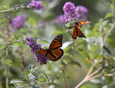 モナコ蝶のオス、メス