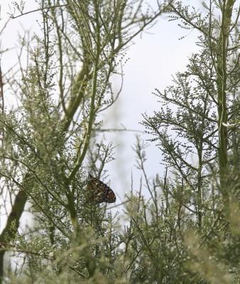 木にぶら下がるモナコ蝶