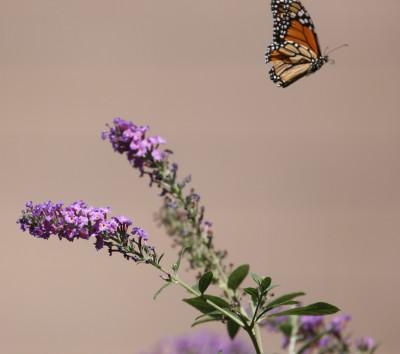 飛び去るモナコ蝶