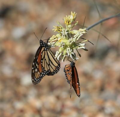 モナコ蝶とジョオウマダラ