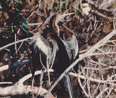 アメリカヘビウ