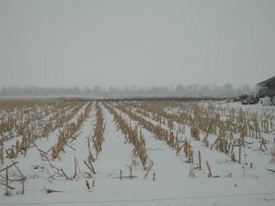 雪のトウモロコシ畑