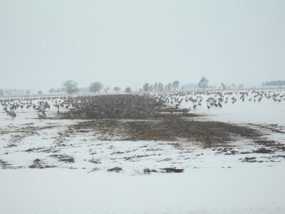 黒い畑のカナダヅル