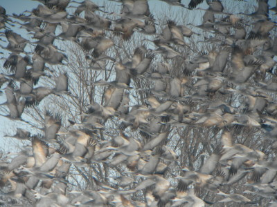 飛び立つカナダヅルの群