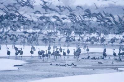 中州に集まるカナダヅル