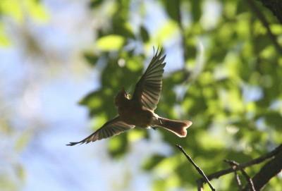 フサボウシハエトリ飛び立つ