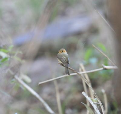 フサボウシハエトリ雌