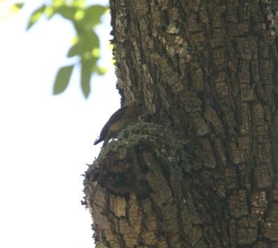 フサボウシハエトリ巣