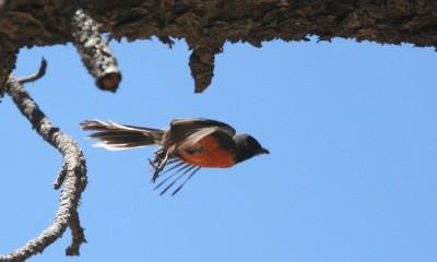 飛ぶベニイタダキアメリカムシクイ