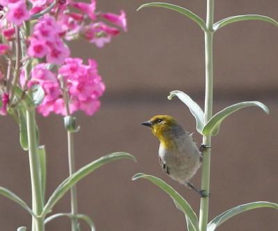 ペンステモン花とアメリカツリスガラ